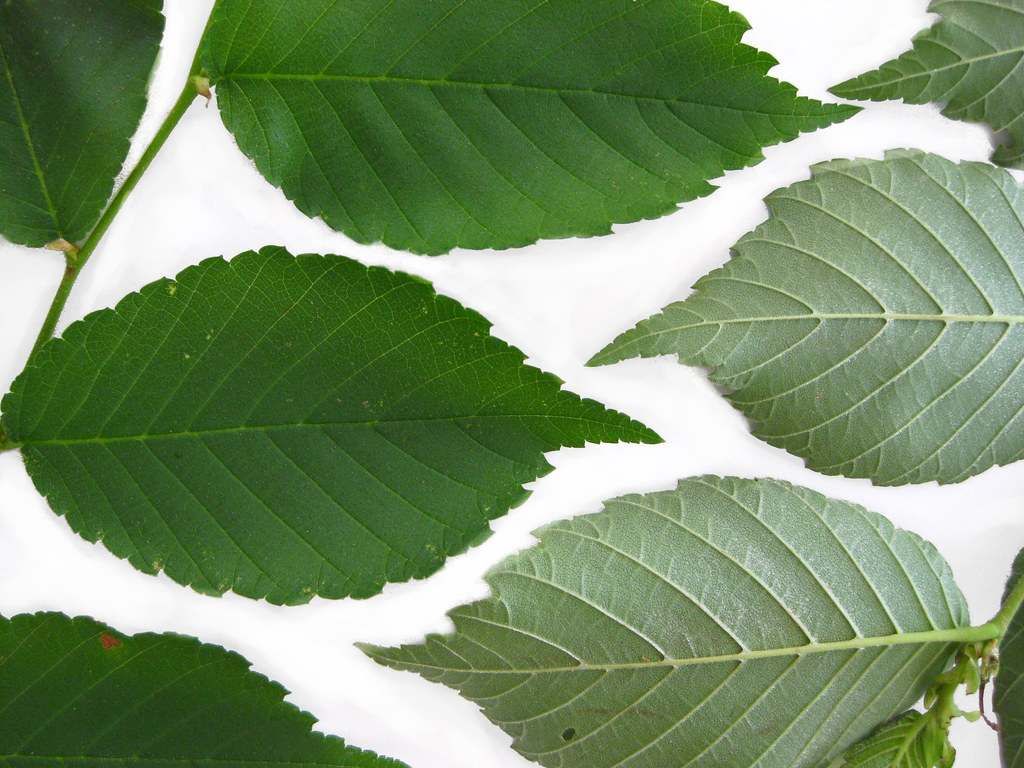 slippery elm how to take