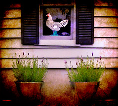 Chicken in window