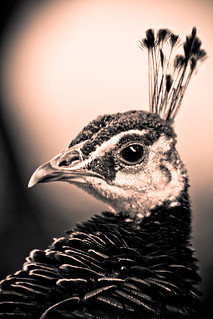 A Noble fowl | by alan shapiro photography