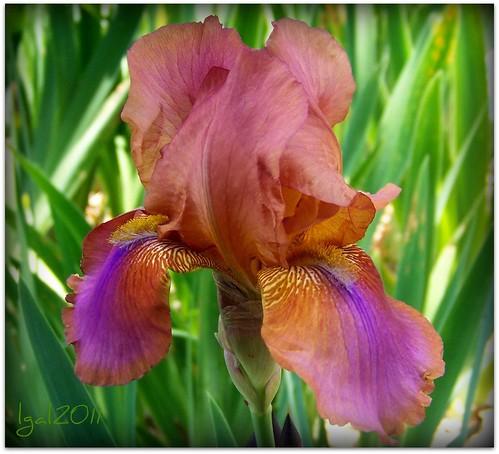 how to show a bearded iris