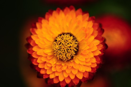 Strawflower | by naruo0720