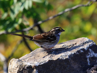 White-throated Sparrow | by Laura Erickson