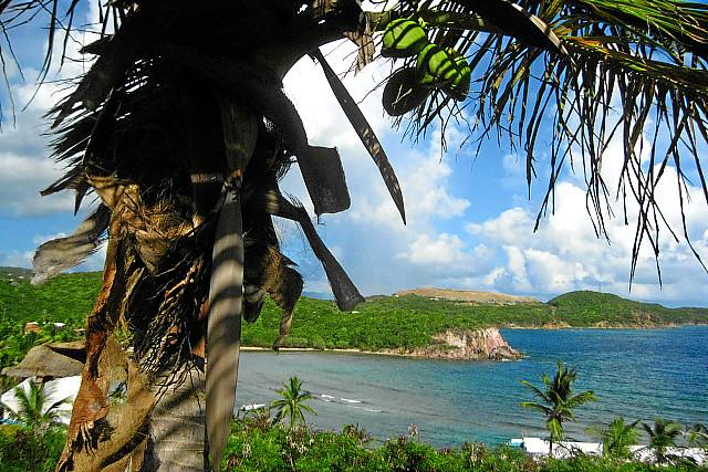 Palm tree with coconuts regatta point villas bolongo for Palm tree villas 1