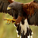 Harris Hawk Big Fat Kill