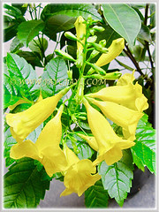 Tecoma stans (Yellow Bells, Yellow Trumpetbush, Yellow Elder) with trumpet-shaped blossoms, 27 Sept 2013