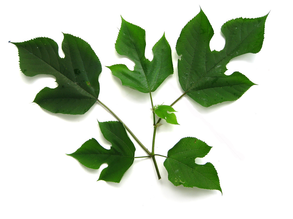 paper mulberry Paper mulberry is a fast growing deciduous tree of the mulberry family that has a broad spreading crown and a mature height of 35-40 feet it has gray-brown smooth.