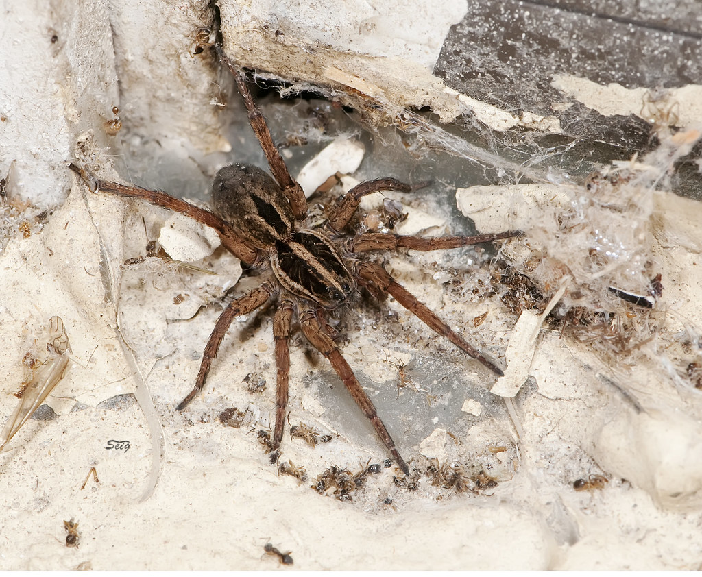 how to get rid of wolf spiders in yard