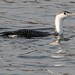 Red Throated Loon In Winter Plumage