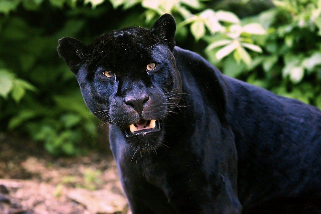 Black Jaguar Stuart Robertson Reynolds Flickr