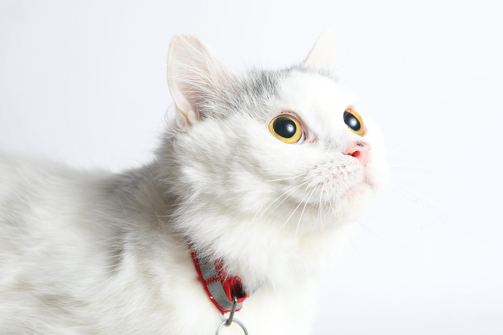 A198780 - Charity - white grey cat | The.Rohit | Flickr