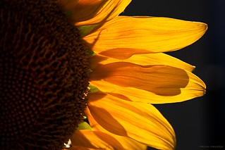 Sunflower 3 | by Malcolm MacGregor