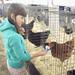 Hen pecking