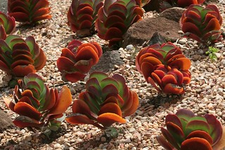 Succulents | by Peter_Australis