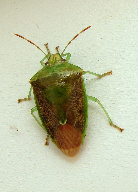 Bug Of The Day A Cool Green And Brown Stink Bug At The