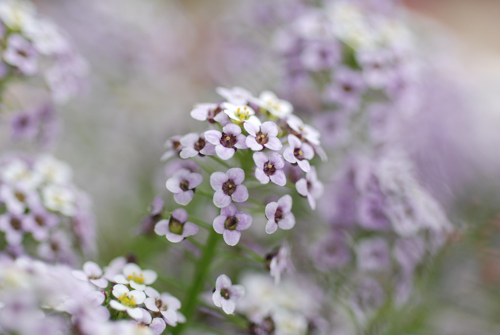 tiny purple and white flowers  these grow wild in our ga…  flickr, Beautiful flower