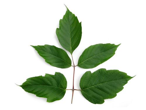 Acer negundo - Boxelder aka Ash-leaf Maple