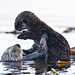 Mother Mom Sea Otter Holds Pup 7 of 9 Sea Otter (Enhydra lutris), female, marine mammal, with her baby pup