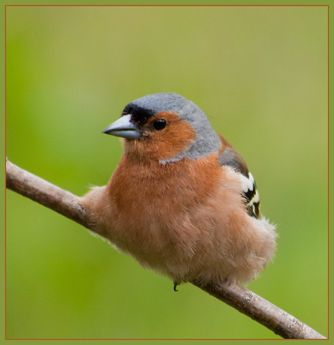 Resting Chaffinch ~ male | by Margaret S.S