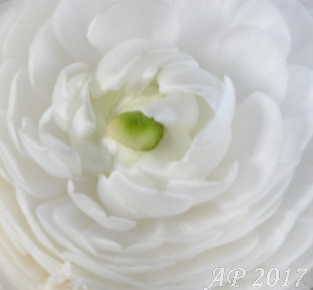 Renoncule / Buttercup