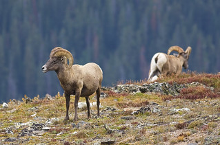 Big Horn Sheep on the edge... | by Mike Martin, Wildlife Photography