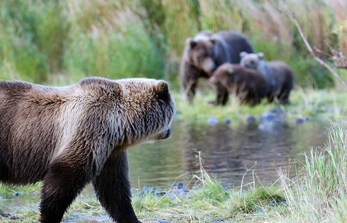 Bears on the Kulik | by t i g