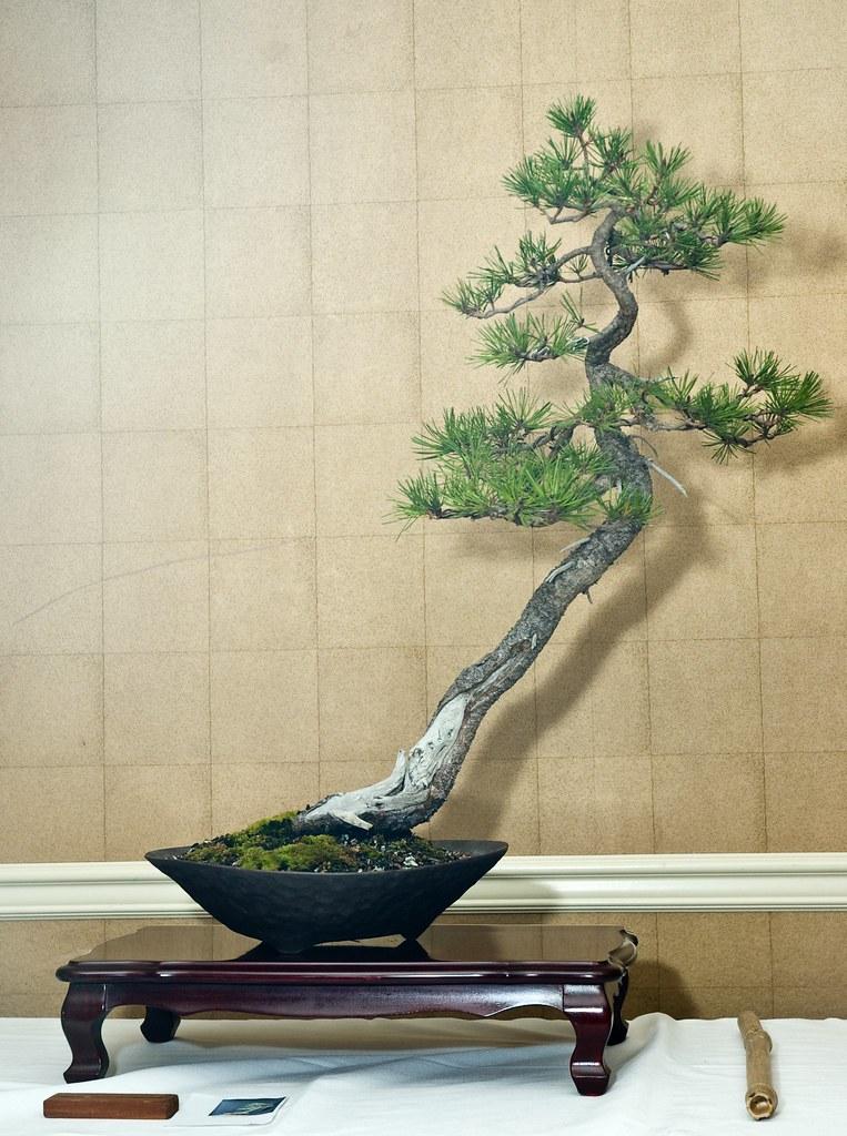 Literati shore pine the 2009 pnbca xx bonsai convention for Literati bonsai gallery