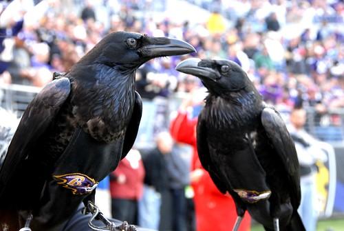 Raven Football Team Baltimore Ravens Football