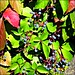 blue berries, red stems