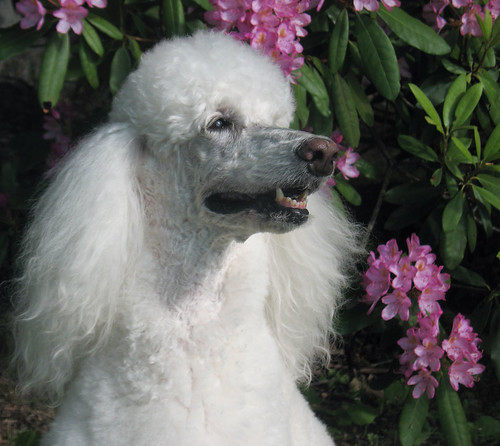 An Ethereal Moment (Standard Poodle, Lisette, rhododendron flowers) | by Louise Lindsay