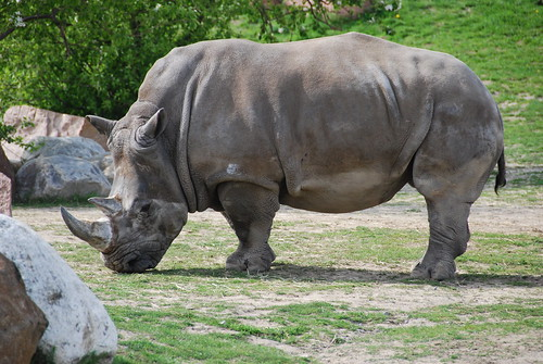 Rhinoceros | by cetaylor