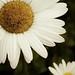 daisy close