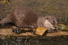 Asian Small-clawed Otter 1 | by Foto Martien (thanks for over 17 million views)