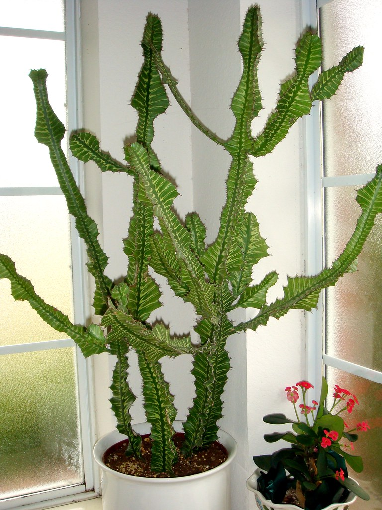 Fishbone cactus fishbone cactus cameliatwu flickr - Home plants types ...