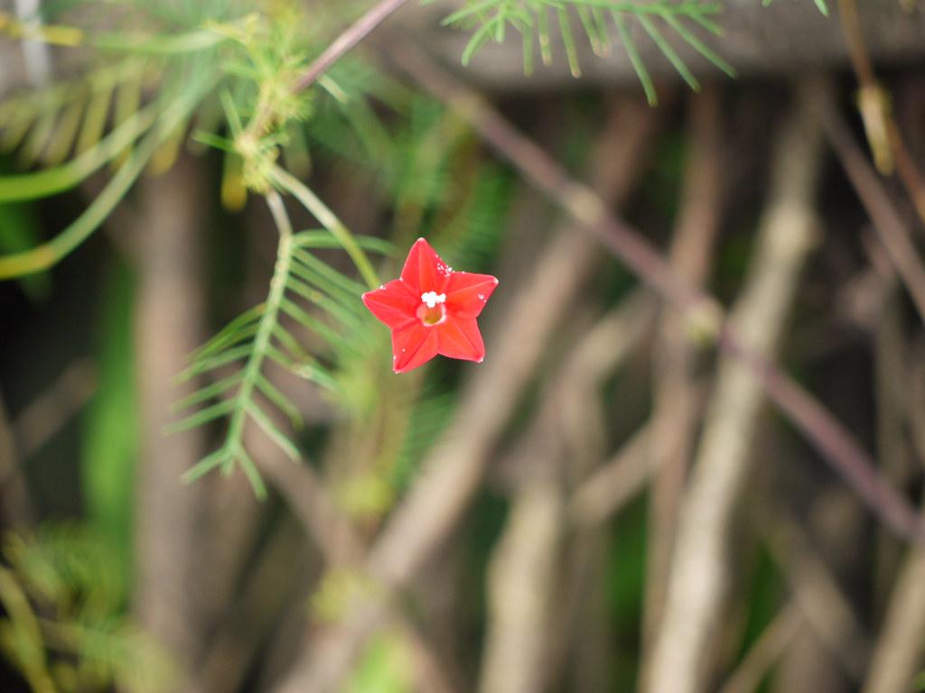 Kamalata (Hindi: ) | Convolvulaceae (convolvulus