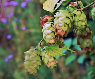 Hops by [Duncan], on flickr