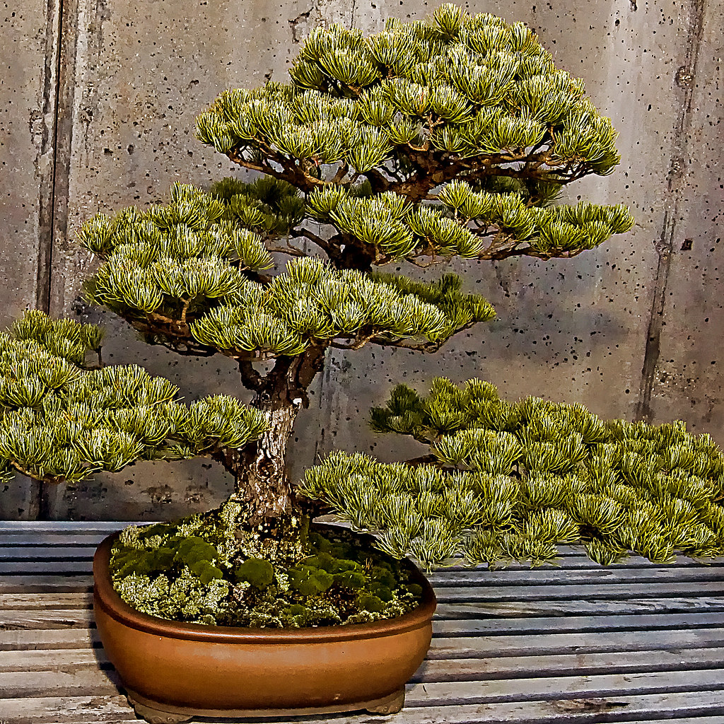 All About One Of A Kind Bonsai Trees Kidskunstinfo