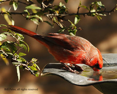 Drinking Northern Cardinal _MG_0580R | by CP Images