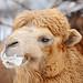Foamy camel