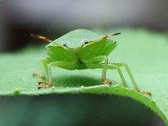 Green Bug | by Gerry Gribben