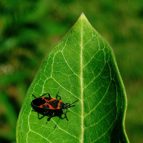 Small Milkweed Bug | by Dendroica cerulea