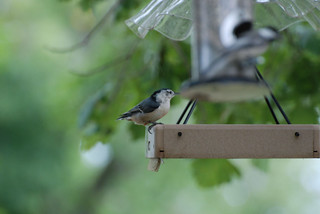 White-Breasted Nuthatch at feeder | by swellvegan