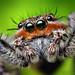 Adult Male Platycryptus undatus Jumping Spider (With Video!)