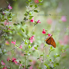 Gulf Fritillary Butterfly and Flowers | by *GloriousNature*bySusanGaryPhotography