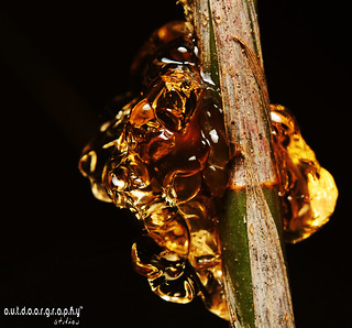 Nature's Amber | by Sir Mart Outdoorgraphy™