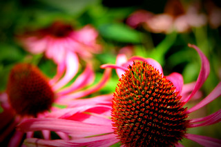 Echinacea Purpurea, Chelsea Physic Garden | by Princess Valium