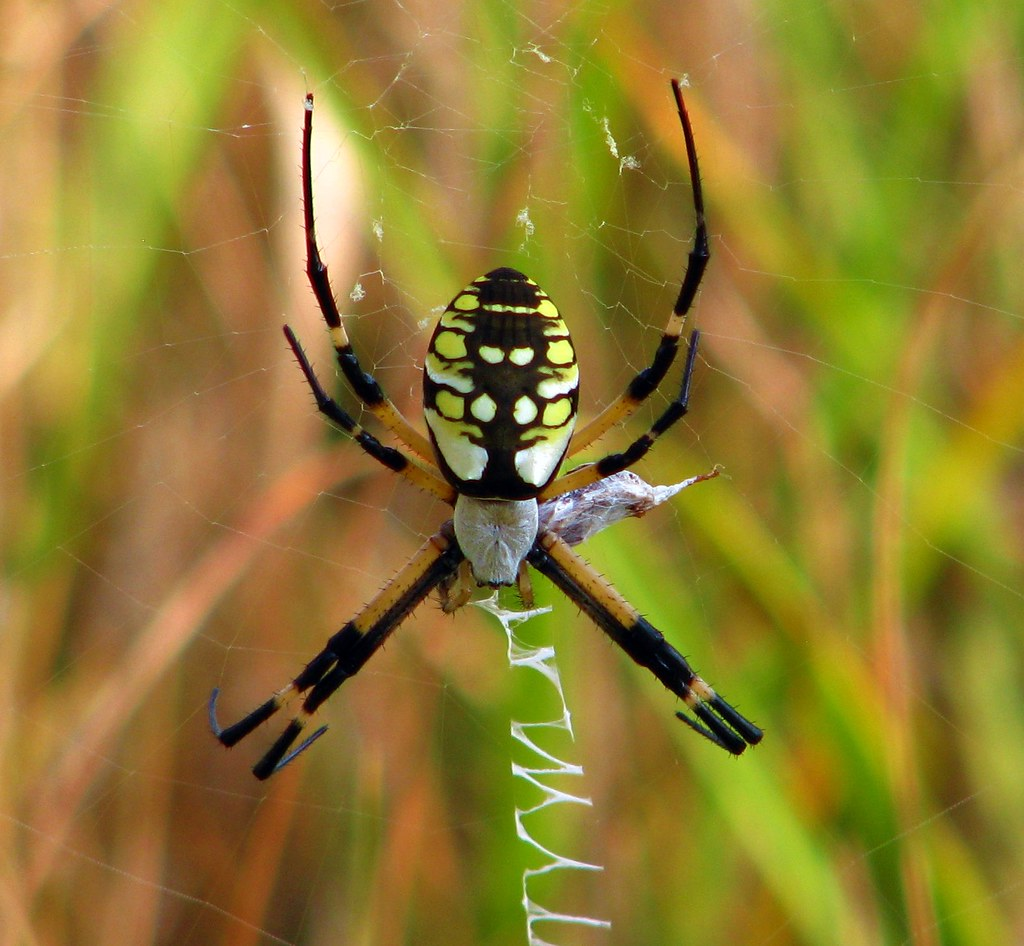 golden garden spider by arielsd golden garden spider by arielsd - Golden Garden
