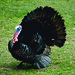 Photo of the Week - Wild Turkey at Wallkill National Wildlife Refuge