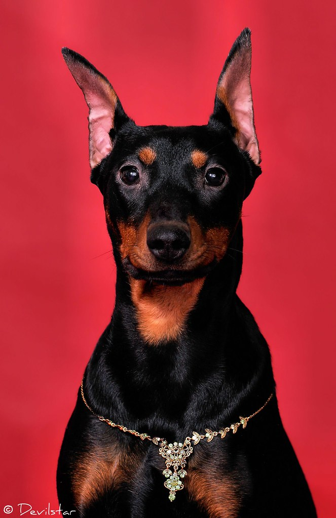 German Pinscher | People often think that my girl Tequila ...
