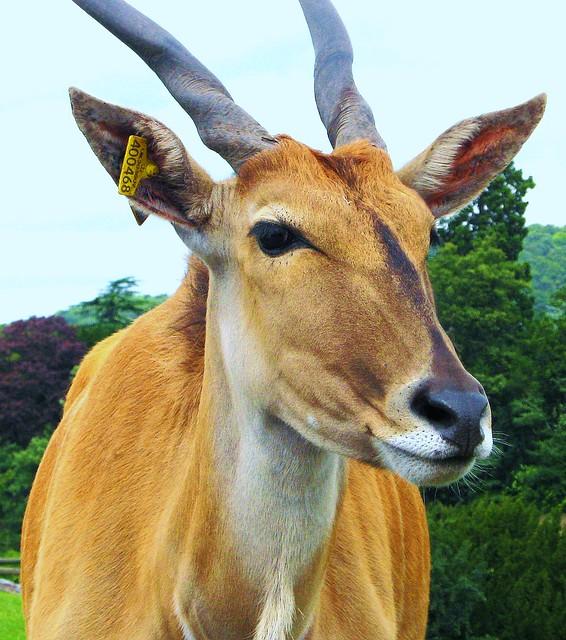 antelope  EnglishSpanish Dictionary  WordReferencecom