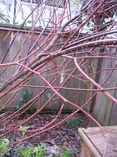 Red-twig dogwood in winter | by greenwalksblog